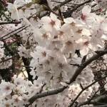 満開の桜とUV対策